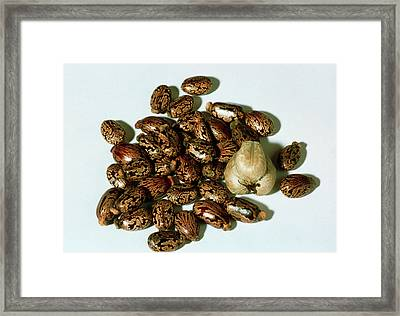 Castor Oil Plant Seeds Framed Print by Th Foto-werbung/science Photo Library
