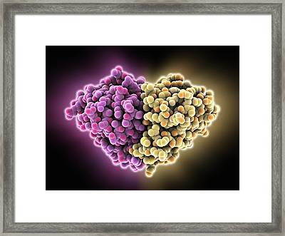 Cat Allergen Protein, Molecular Model Framed Print by Science Photo Library