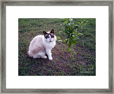 Framed Print featuring the photograph Cat 'n Orange Tree by Joseph Baril