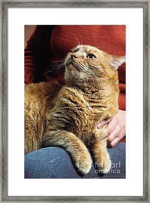 Cat On Lap Framed Print by James L. Amos