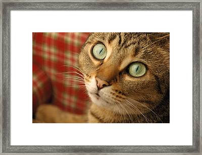 Cat On Plaid Couch Framed Print