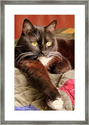 Cat On Velvet Framed Print by Maria Scarfone