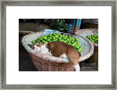 Cat Sleeping Among The Limes Framed Print