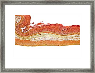 Cat Stomach Framed Print by Dr Keith Wheeler