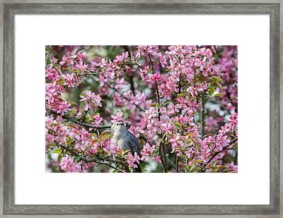 Catbird In A Pear Tree Framed Print