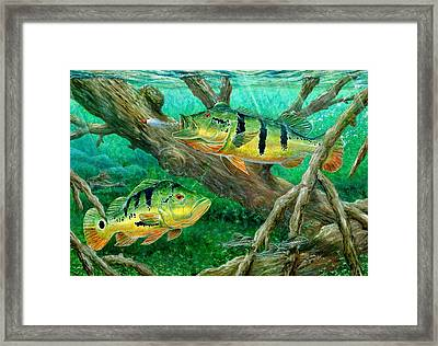 Catching Peacock Bass - Pavon Framed Print by Terry Fox