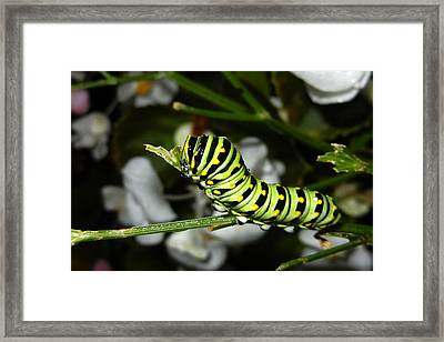 Framed Print featuring the photograph Caterpillar Camouflage by Bill Swartwout