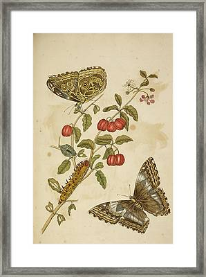 Caterpillar Feeding On A Plant Framed Print by British Library