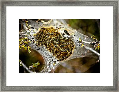 Caterpillars Framed Print by Joel Loftus