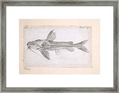 Catfish, Artwork Framed Print by Science Photo Library