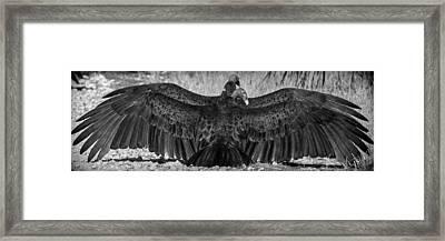 Cathartes Aura Framed Print