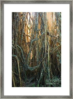 Cathedral Fig In Australia Framed Print by William H. Mullins