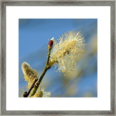 Catkin Flowering Framed Print by Gynt