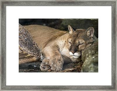 Catnap Framed Print by Phil Abrams