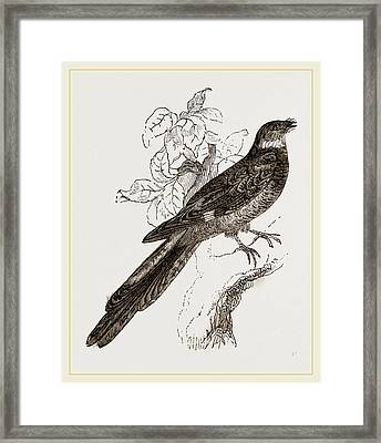Catrittan Longtaiied Nightjtr Framed Print by Litz Collection