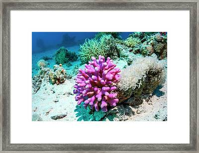 Cat's Paw Coral Framed Print