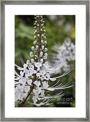 Cat's Whisker Flower In Garden Framed Print
