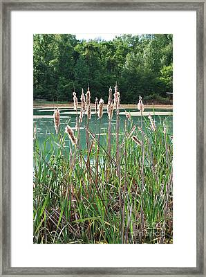 Cattails Framed Print by Gayle Melges
