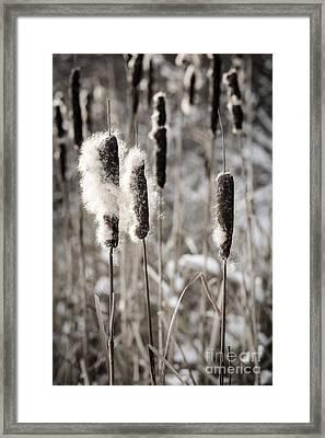 Cattails In Winter Framed Print by Elena Elisseeva