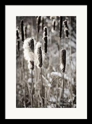 Bulrushes Framed Prints
