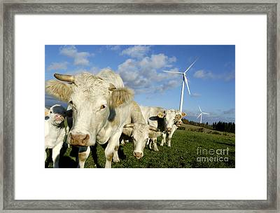 Cattle Framed Print
