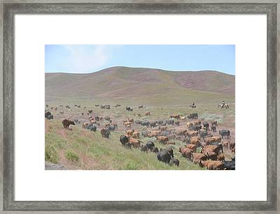 Cattle Drive In The Spring Framed Print by Lee Raine
