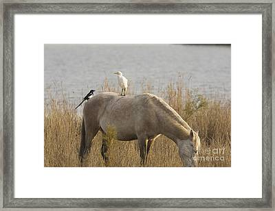 Cattle Egret And Magpie Pica Pica Framed Print