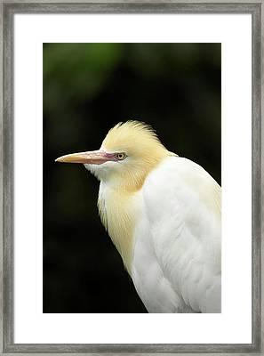 Cattle Egret (ardea Ibis Framed Print