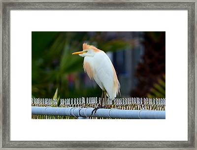 Cattle Egret Breeding Plumage Framed Print by Debra Martz
