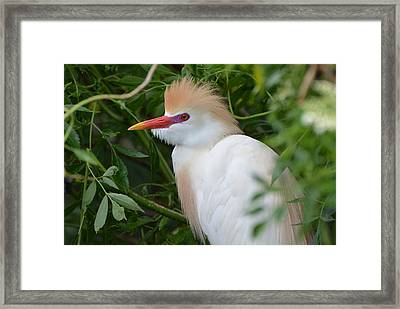 Cattle Egret In Breeding Season Framed Print
