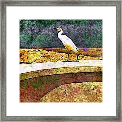 Cattle Egret In Town - Square Framed Print