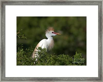 Cattle Egret No. 5 Framed Print