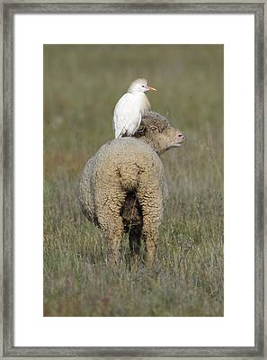 Cattle Egret On Sheep Framed Print by Duncan Usher