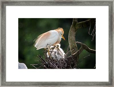 Cattle Egret Tending Her Nest Framed Print