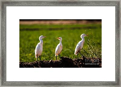 Cattle Egrets Framed Print by Robert Bales