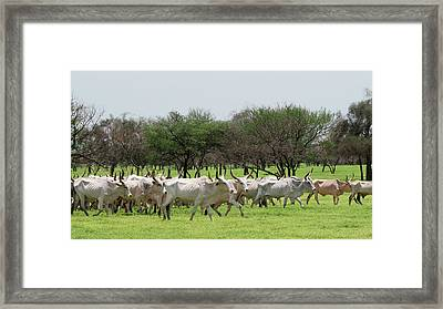 Cattle Farming Framed Print by Thierry Berrod, Mona Lisa Production