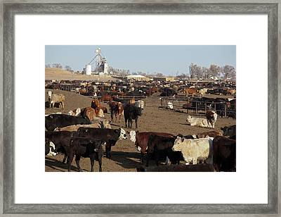 Cattle Feeding Yard Framed Print