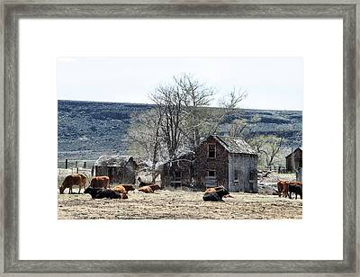 Cattle Flop House Framed Print by Ray Finch