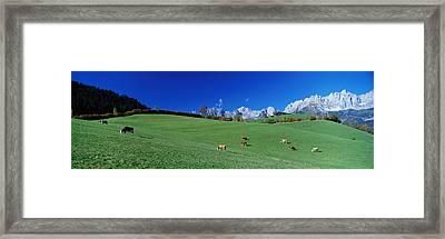 Cattle Graze In Alps Wilder Kaiser Framed Print
