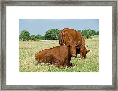 Framed Print featuring the photograph Cattle Grazing In Field by Charles Beeler