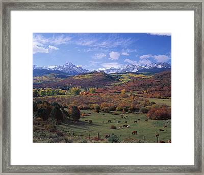 Cattle Grazing San Juan National Forest Framed Print by Panoramic Images