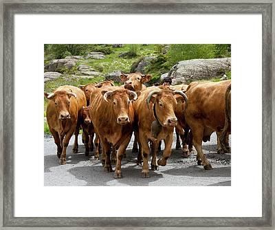 Cattle Herd Being Moved Framed Print by Bob Gibbons