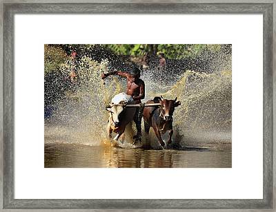 Cattle Race In Kerala South India Framed Print by Pradeep Subramanian