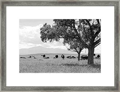 Cattle Ranch In Summer Framed Print