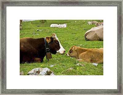 Cattle Resting Framed Print by Bob Gibbons