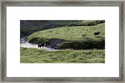 Cattle Running Framed Print by Andre Paquin