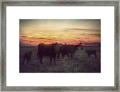 Cattle Sunset Framed Print by Thomas Zimmerman