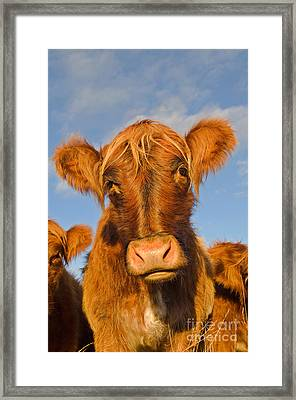 Cattle Uk Framed Print by Terry Whittaker
