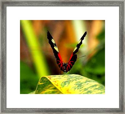 Cattleheart Butterfly  Framed Print by Amy McDaniel