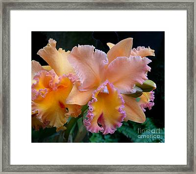 Cattleya  Framed Print